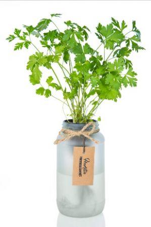 Kit de cultivo - Perejíl
